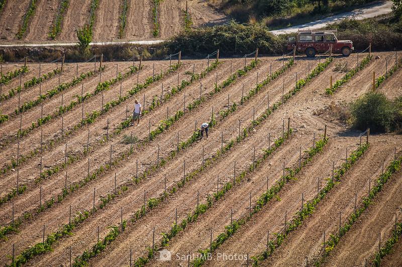 Cuidando las viñas biológicas de la Finca Viladellops