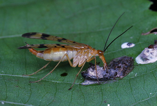 Scorpionfly feeding from a bird dropping | by marcoli789