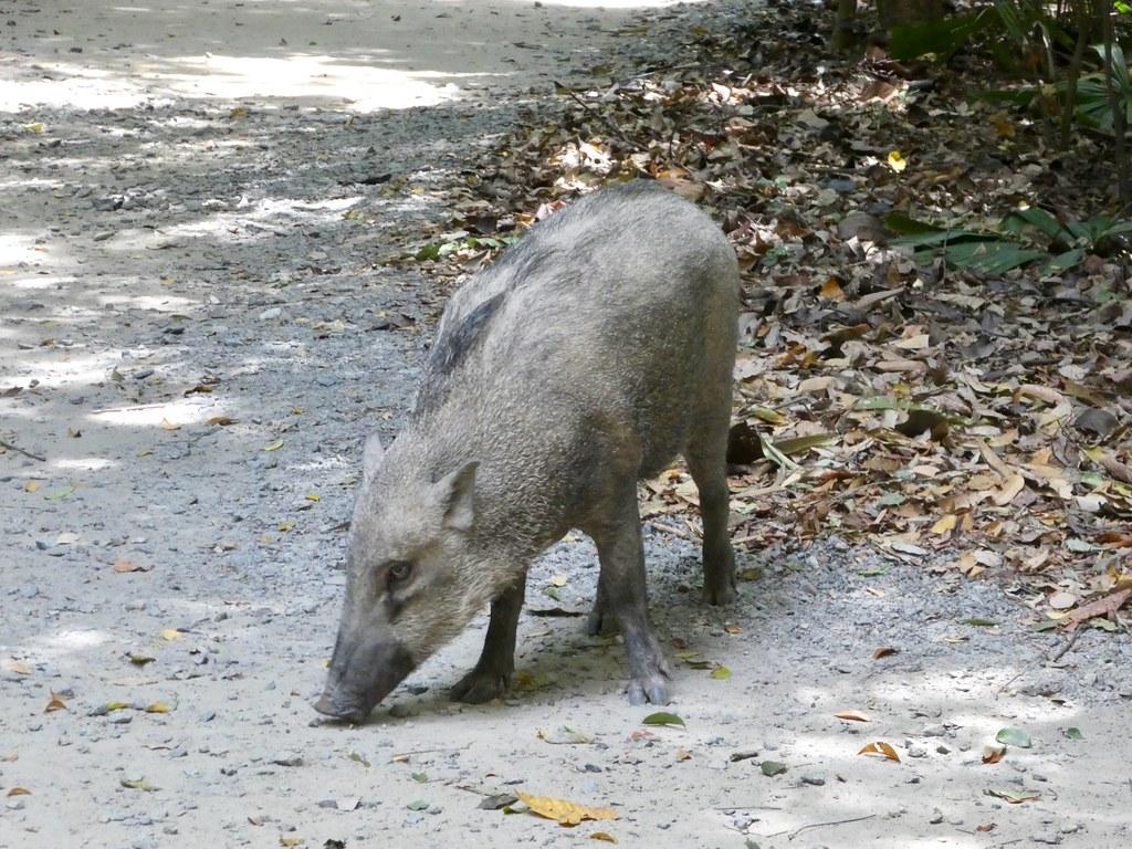 Wild Boar, Pulau Ubin Island, Singapore