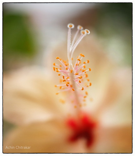 Hibiscus in pastel - II | by AchinChitrakar