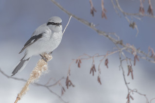 Pie-Grièche Boréale  -  Northern Shrike