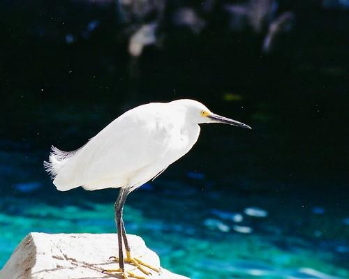captive white egret