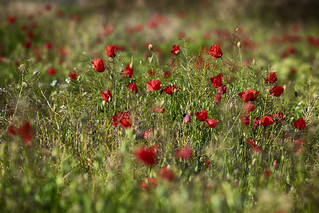 Amapolas HDR | by Mael21