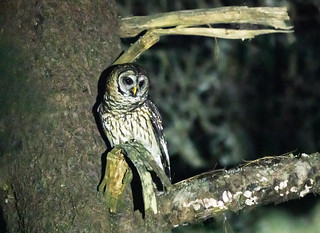 Fulvous Owl   by nickathanas