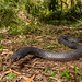 Red-bellied Black Snake (Pseudechis porphyriacus) by elliotbudd