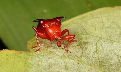 Horned Leaf-rolling Weevil (Lamprolabus bihastatus, Attelabidae)   by John Horstman (itchydogimages, SINOBUG)