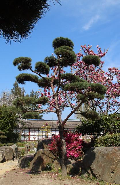 Niwaki, taille des arbres en nuage