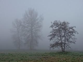 Alder In The Mist