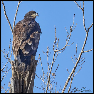 Eagle at Loess Bluffs National Wildlife Refuge - No 1