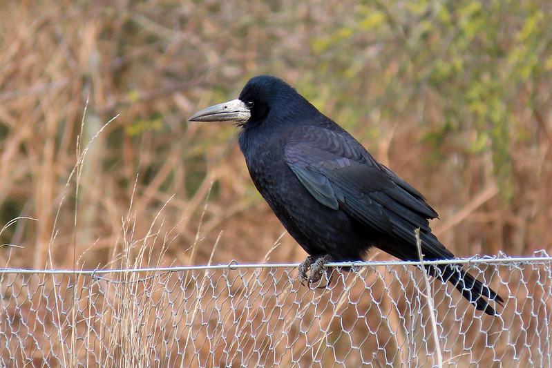 Rook - Corvus frugilegus