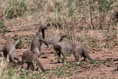 manguste Serengeti sep18_09_med   by Valentin Groza