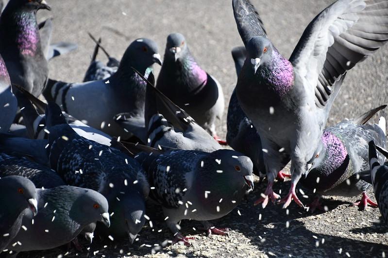 Pigeons 26.03 (4)