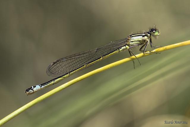Ischnura elegans. Female