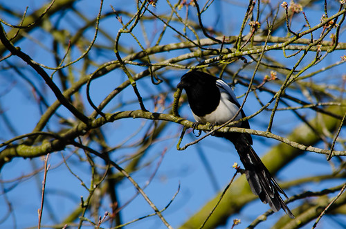 Magpie looking about, West Park