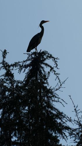 High heron, Compton