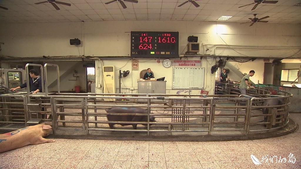 999-1- (12)黑豬、白豬輪流走過拍賣通道,短短幾秒,就決定了每隻豬的身價。