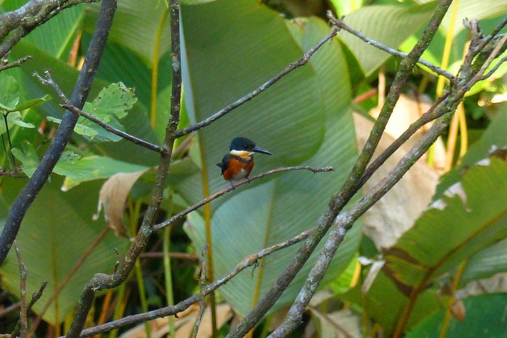 American Pygmy Kingfisher, female