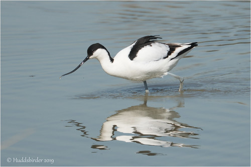 Avocet | by Huddsbirder