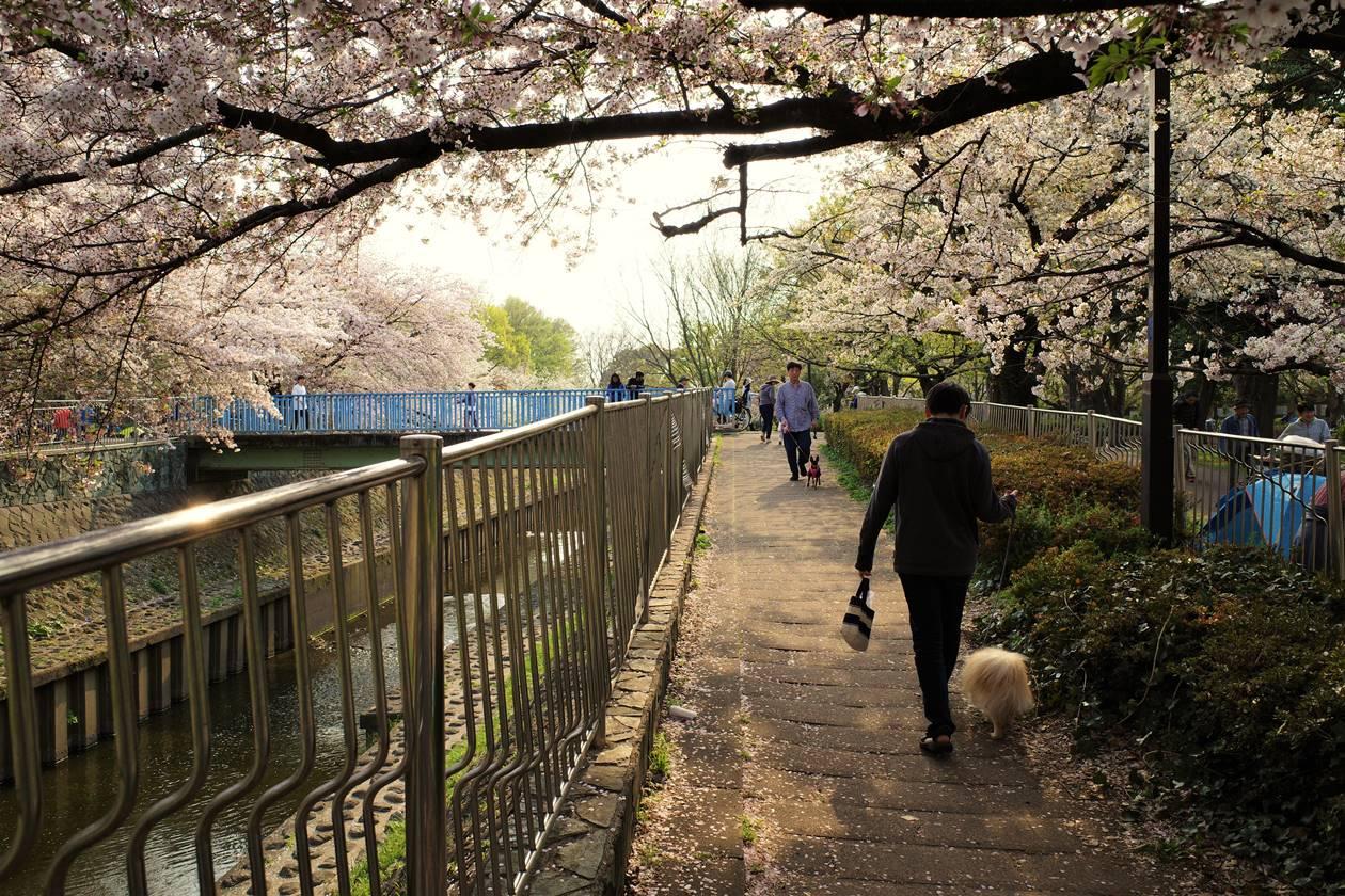 善福寺川公園の桜 お花見散歩
