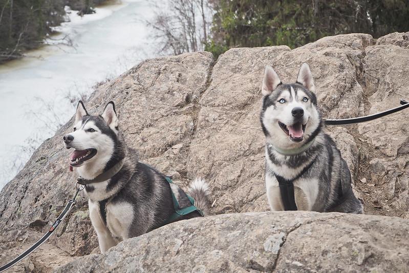 koirien kanssa retkellä