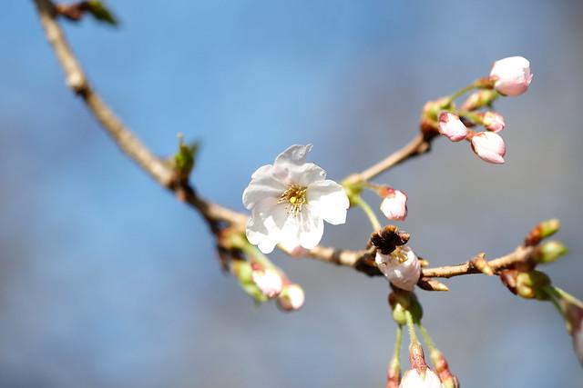 Yoshino cherry (Prunus yedoensis), Iwamoto Mountain Park