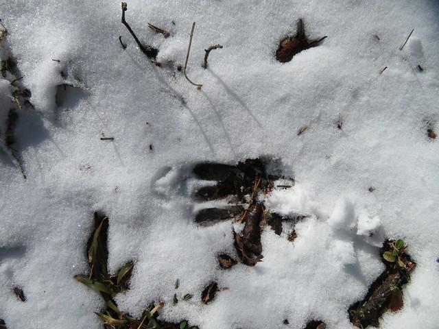 Metskitse jäljed lumel