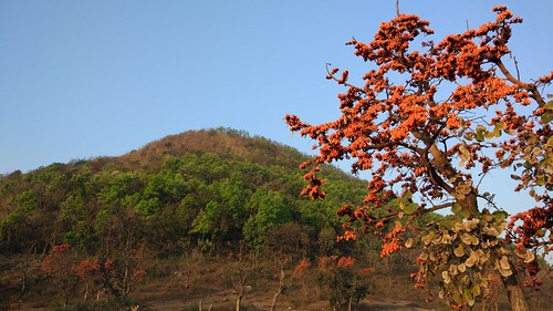 Baranti...amidst palash flowers | Amby2506 | Flickr