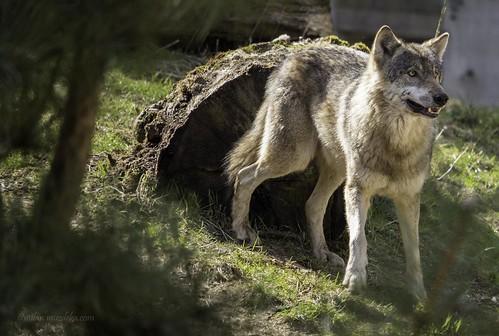 Wolf | by Milan Muždeka