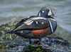 Harlequin Duck (Histrionicus histrionicus) - Barnegat Inlet, New Jersey by JFPescatore