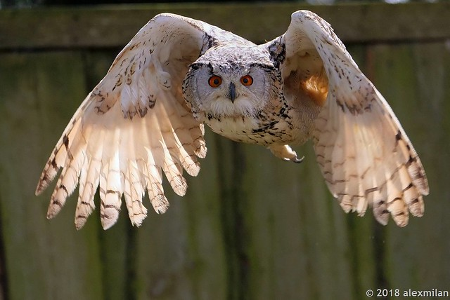 Hibou grand duc- Great horned owl