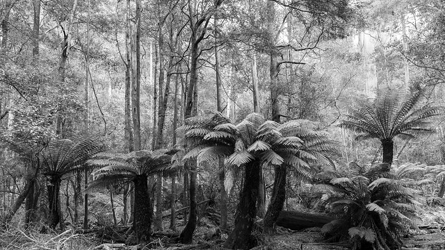 Tree Fern Forest