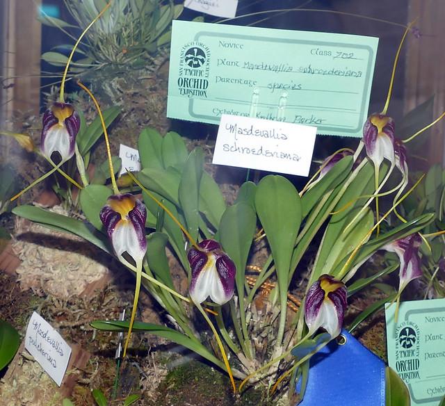 the 2018 pacific orchid exposition: Masdevallia schroederiana species orchid in the orchidarium
