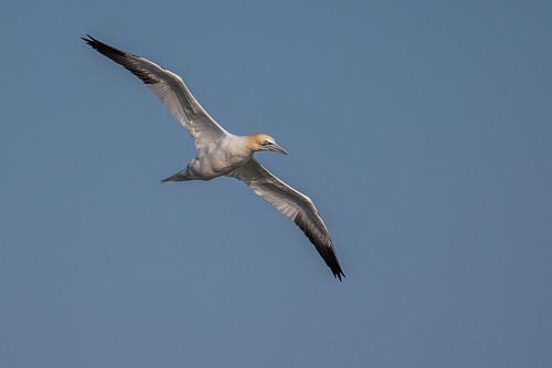 stoneharbor seabird wings beach ocean gannet northerngannet nature bif wildlife sky stoneharborpoint fly bird birdsinflight pelagic newjersey unitedstates us nikon d500