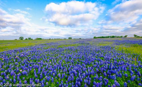 fujixpro2 oldindependencerd texas texaswildflowers washingtoncounty bluebonnet flower wildflower