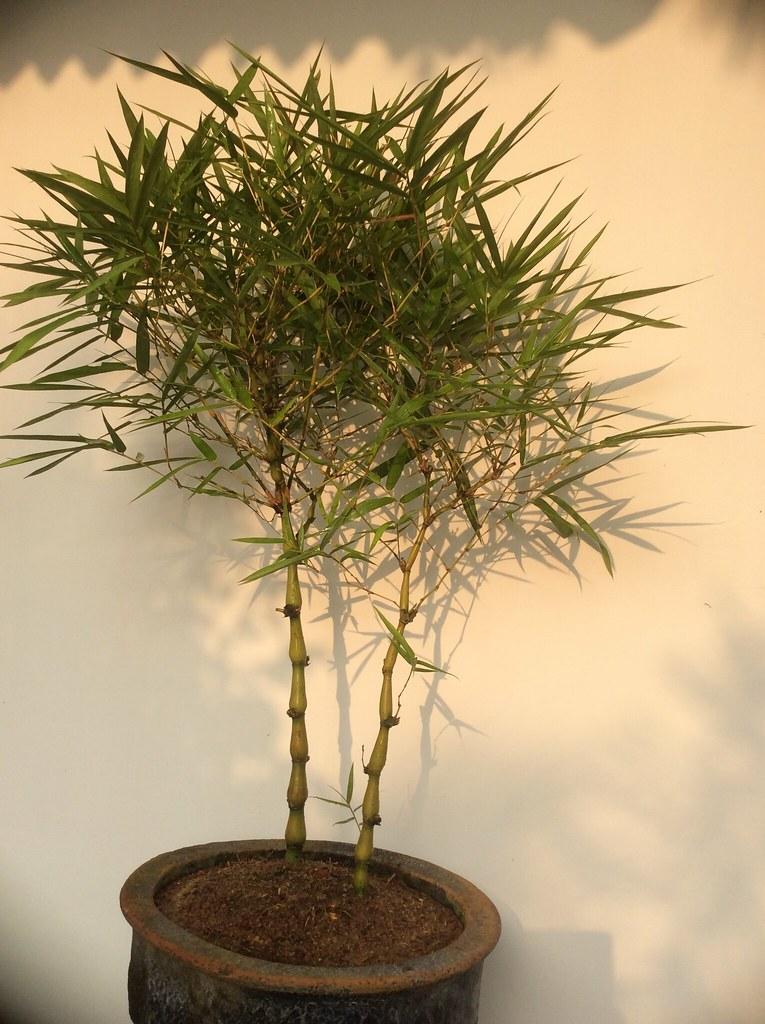 Budha's belly bamboo bonsai ( Bambusa ventricosa ) Six years old. -
