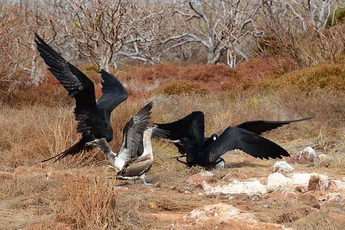 Фрегат великолепный, Fregata magnificens, Magnificent Frigatebird   by Oleg Nomad