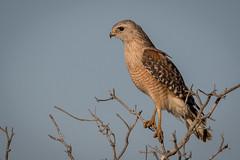 sentinel of the wetlands - red-shouldered hawk