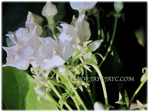 Large white cup-shaped flowers of Vallaris glabra | by jayjayc