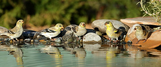 American Goldfinches (5040) | by Bob Walker (NM)
