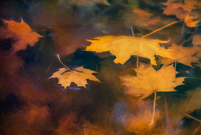 Autumn Leaves Floating in a Stream