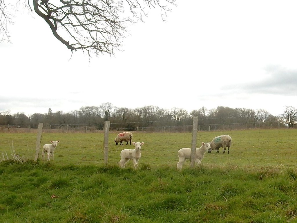 Sheepies n lambies Ashurst to Eridge
