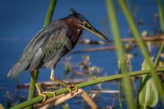 focus of the little green heron in the wetlands