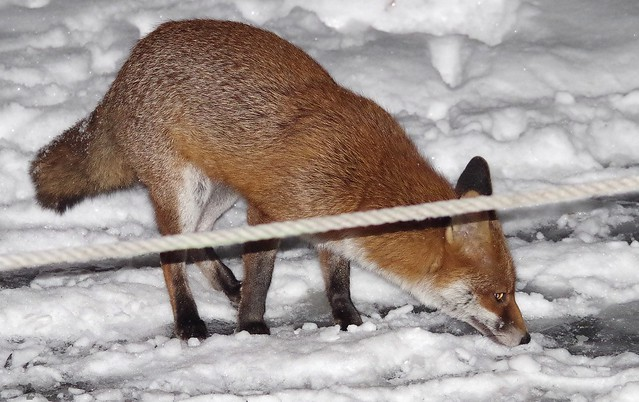 Urban wild red fox in the snow  (4)