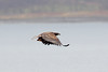 White-tailed Eagle, Loch na Keal, Isle of Mull by Terathopius