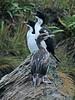 New Zealand King shag - Leucocarbo carunculatus by Maureen Pierre