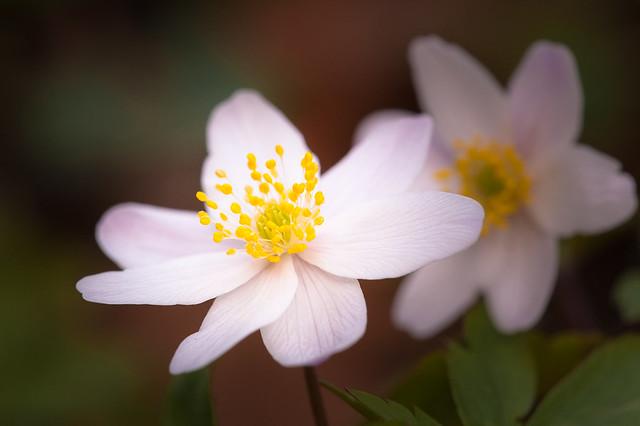 Wood anemone - Bosanemoon