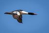 Common Merganser Duck in Flight by jrp76