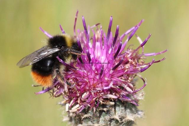 Red-tailed Bumblebee (Bombus lapidarius) Barnack Hills and Holes (2)