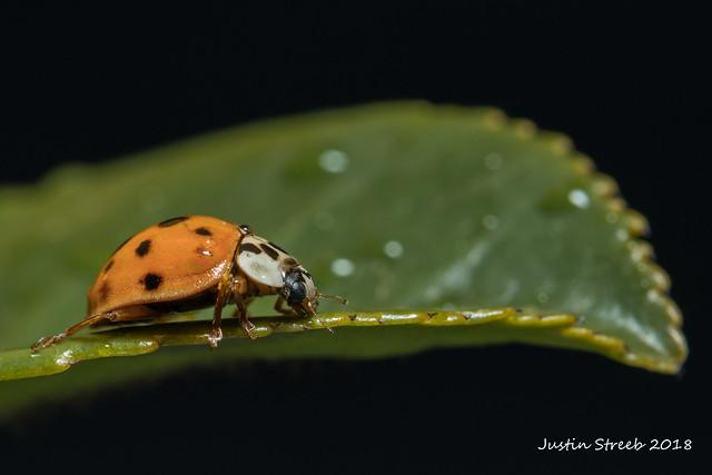 Ladybug 8