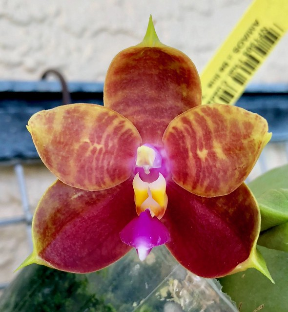 Phal. Guadalupe Pineda (amboinensis 'Carriage Hill Gold' AM/AOS x bellina 'Yungho') in flower.